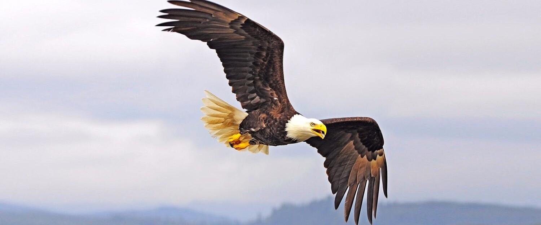 Белоголовый орлан в Far Cry 5