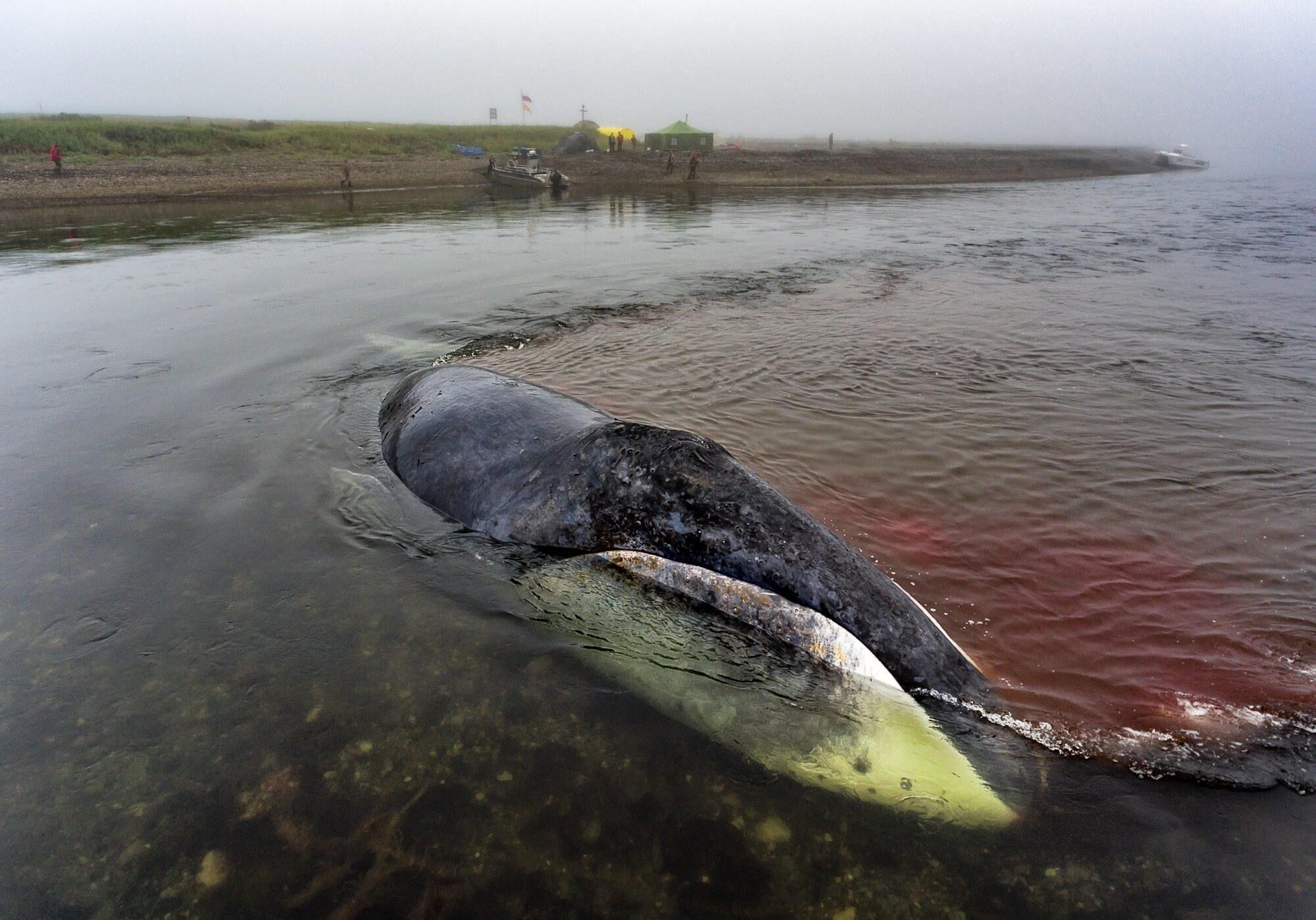 Хроника событий застрявшего в устье реки на Дальнем Востоке Гренладского кита
