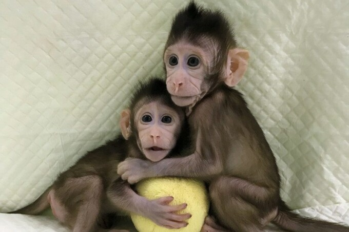 First Cloned monkeys
