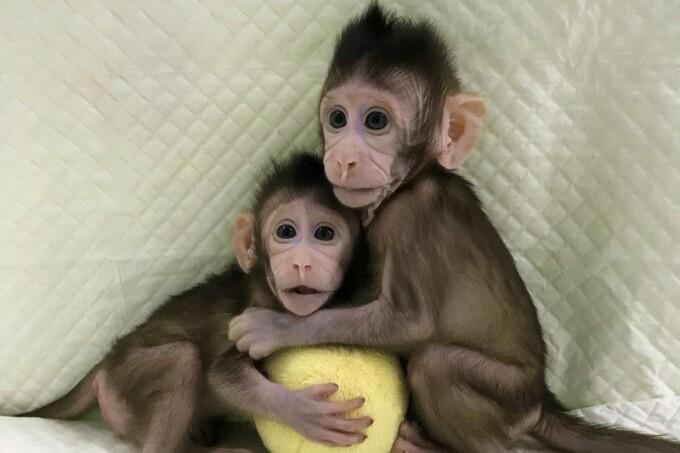 Китайские учёные впервые клонировали обезьян по методике овечки Долли